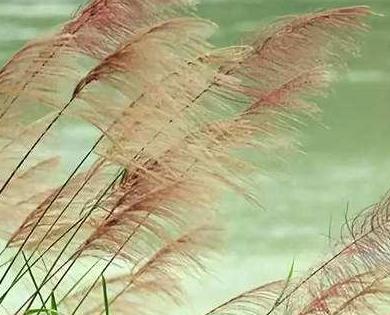 描写芦苇花的优美句子|描写芦苇的优美句子